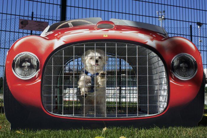 Avete mai visto dei cani al volante di una Ferrari?